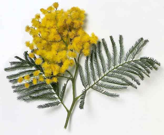 mimosa - La festa della donna... vista dall'uomo
