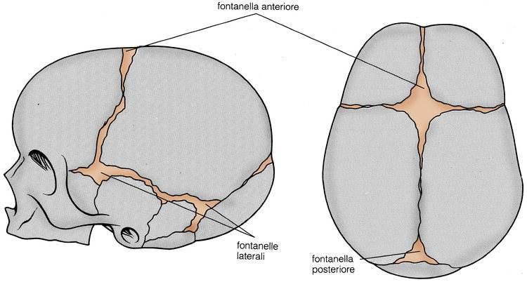 fontanella bregmatica