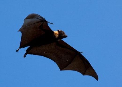 Ebola: le volpi volanti