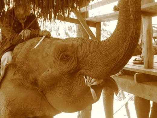 Elefante Thailandia