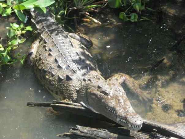 Coccodrilli giamaicani