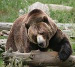 Risposta orso