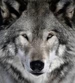 Risposta lupo