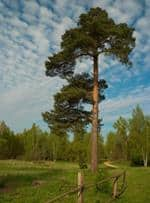 Risposta pino