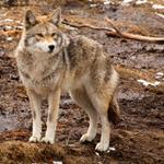 Risposta coyote