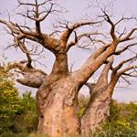 Risposta baobab