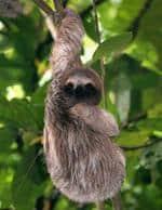 Risposta bradipo