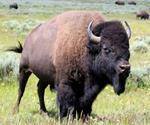 Risposta bisonte