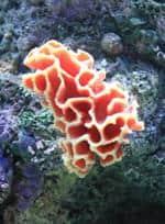 Risposta corallo