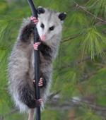Risposta opossum