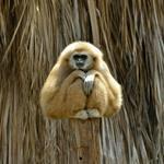 Risposta gibbone