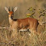 Risposta antilope