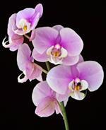 Risposta orchidea