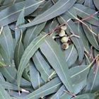 Risposta eucalipto