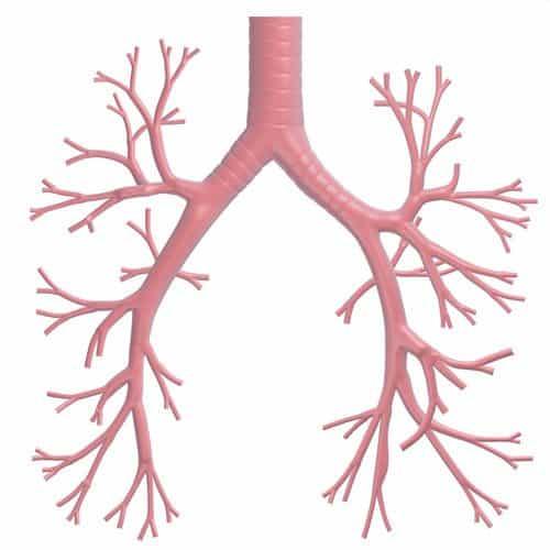 Anatomia answer: BRONCHI