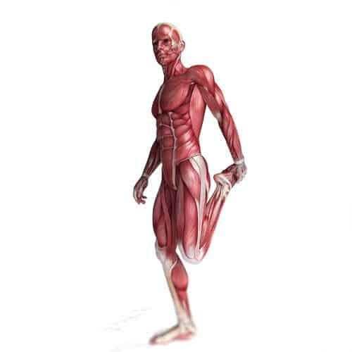 Anatomia answer: MUSCOLI