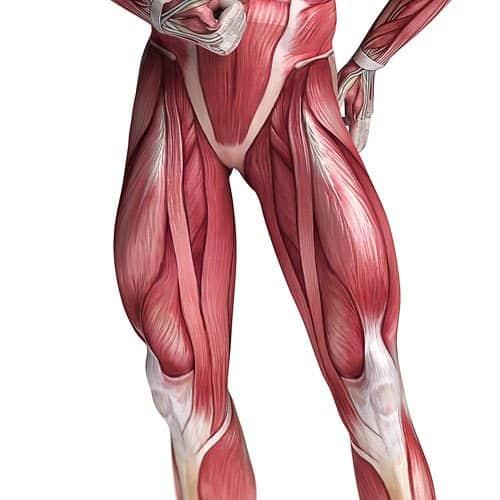 Anatomia answer: QUADRICIPITI