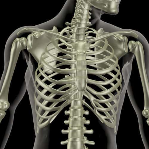 Anatomia answer: CASSA TORACICA