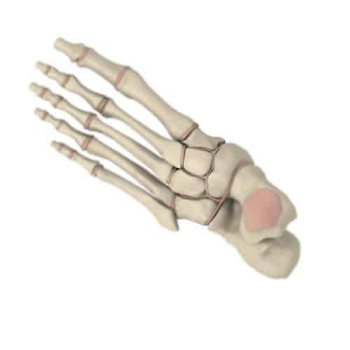 Anatomia answer: OSSA CUNEIFORMI