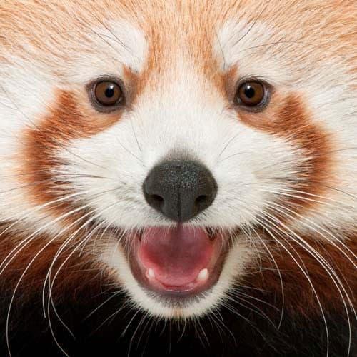 Animali answer: PANDA ROSSO