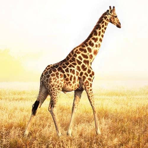Animali answer: GIRAFFA