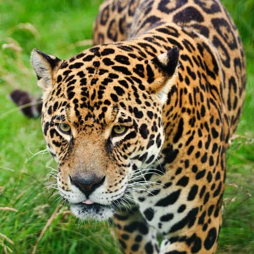 Animali answer: GIAGUARO