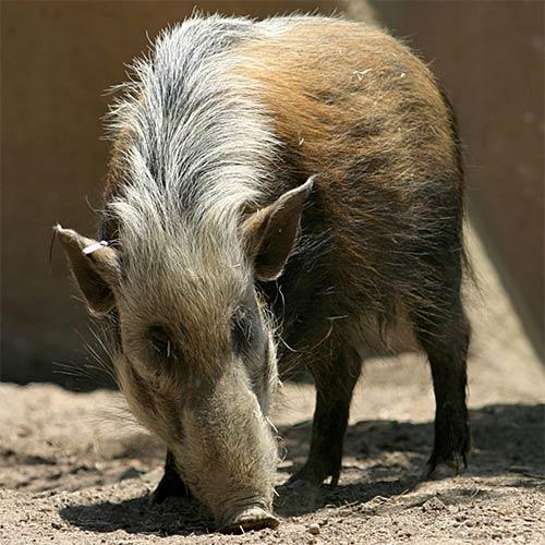 Animali answer: POTAMOCERO