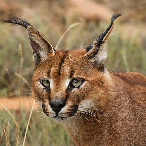 Animali answer: CARACAL