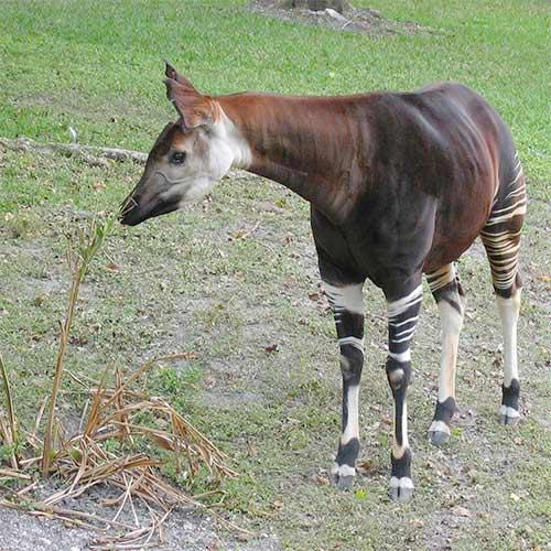 Animali answer: OKAPI