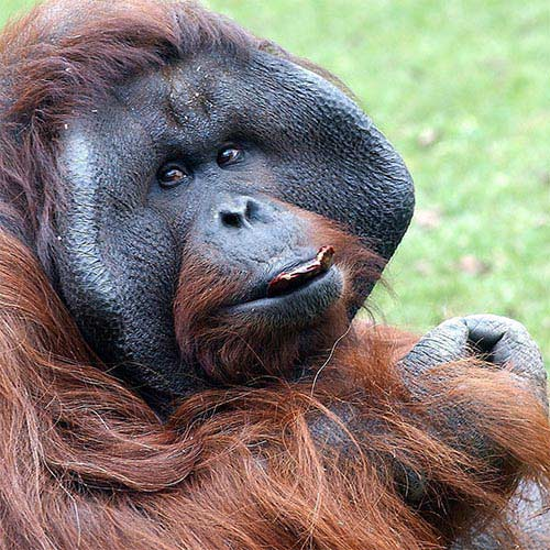 Animali answer: ORANGO