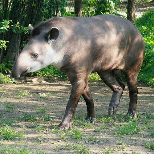 Animali answer: TAPIRO