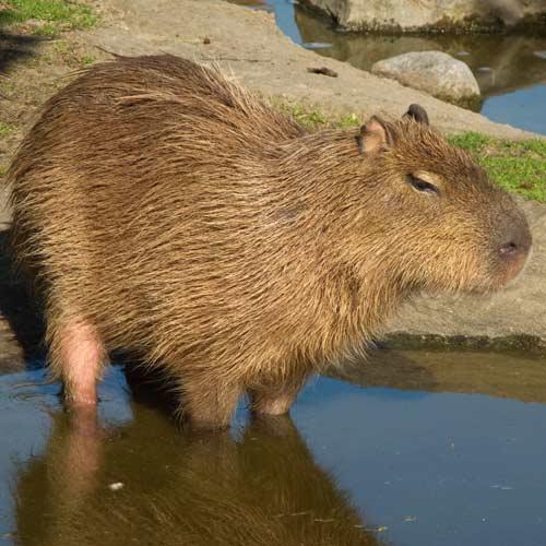Animali answer: CAPIBARA