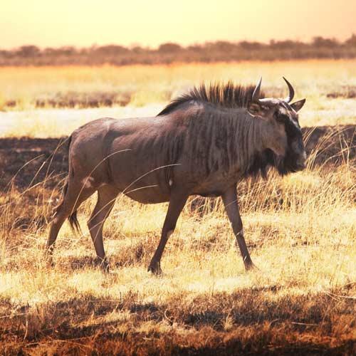 Animali answer: GNU