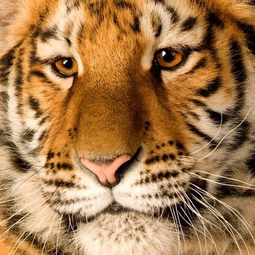 Animali answer: TIGRE