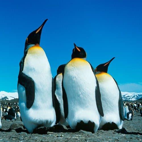 Animali answer: PINGUINO