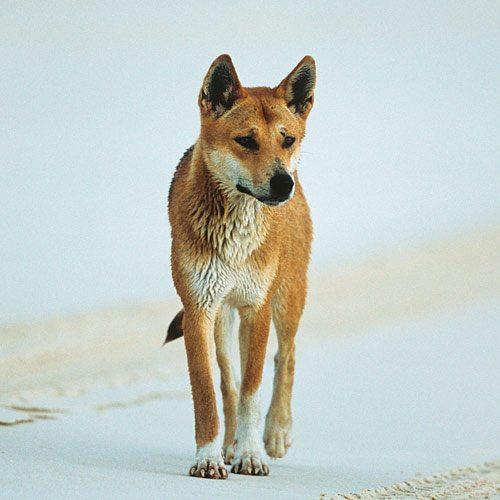Animali answer: DINGO