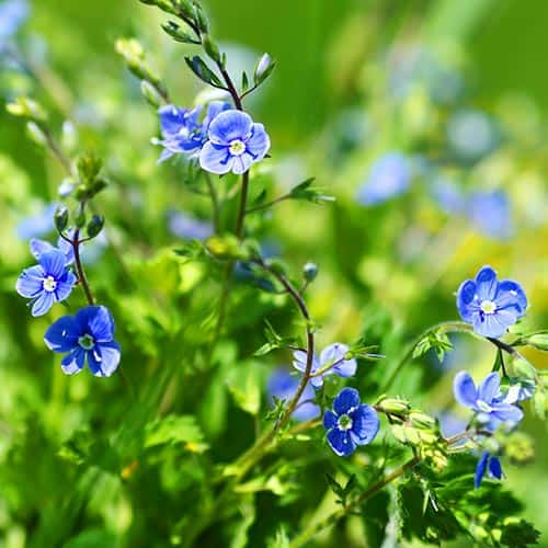 Primavera answer: FORGET-ME-NOT